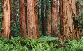 redwoods_-_2560_x_1600.jpeg